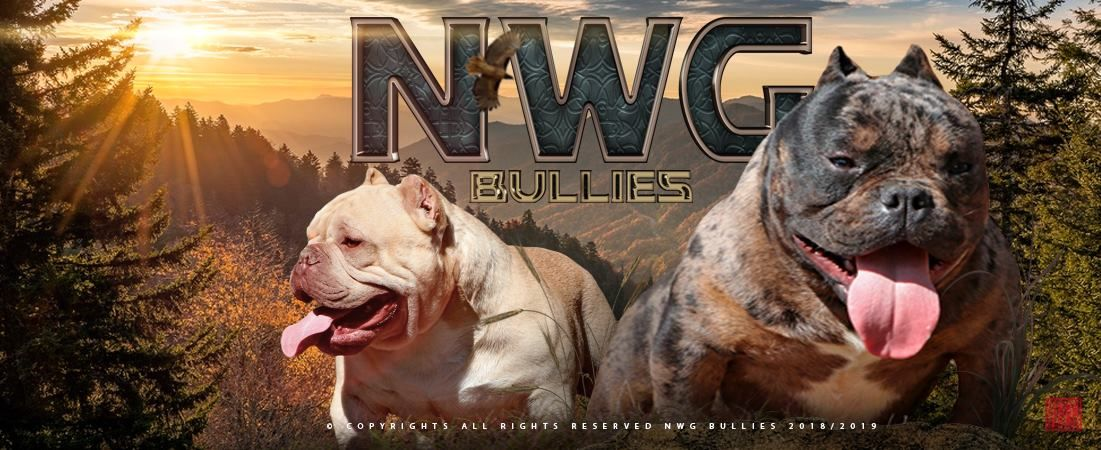 NWG Bullies - Exotic Bullies | Tri color American Bullies